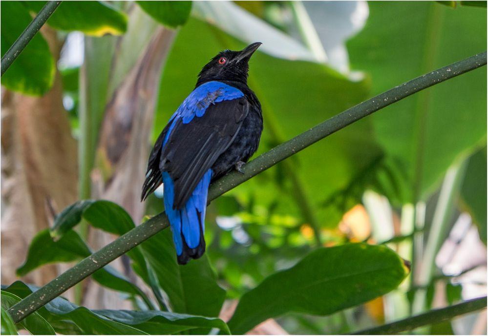 Blauer Feenvogel