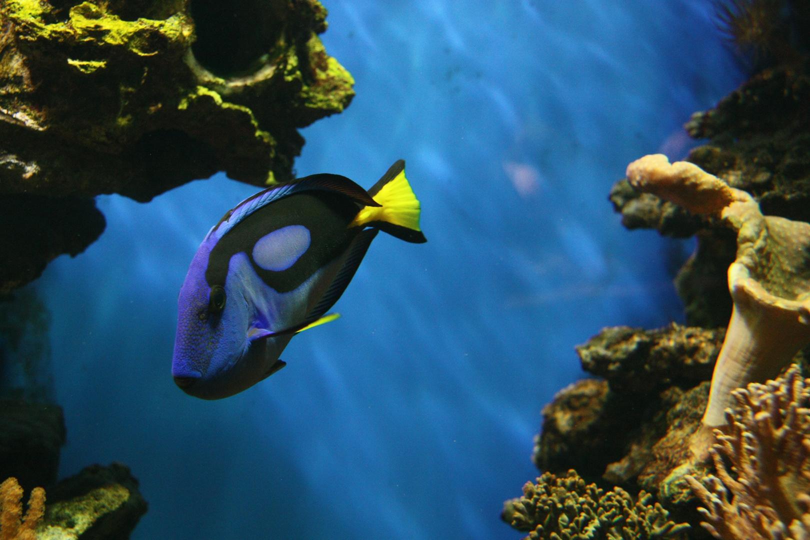 Blauer Fisch vor blauem Grund.