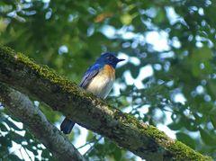 Blauer Fliegenschnäpper