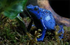 Blauer Frosch