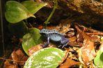 Blauer Frosch..... [Pfeilgiftfrosch]