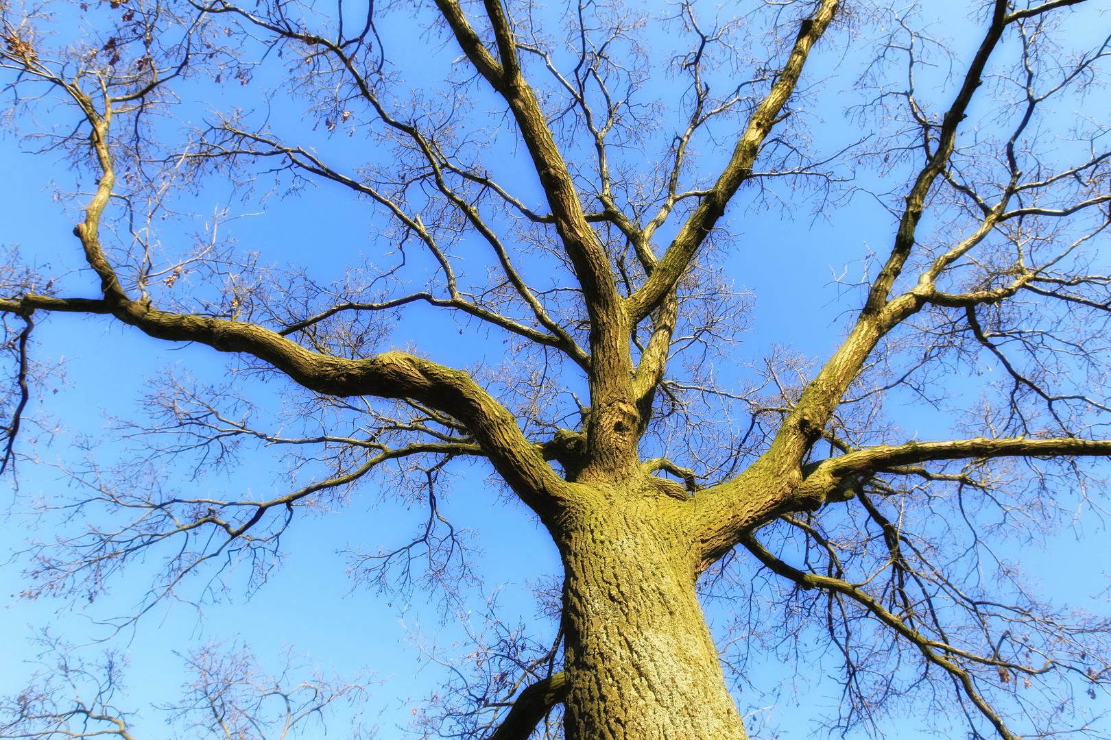 blauer Himmel, ein Baum und keine Blätter