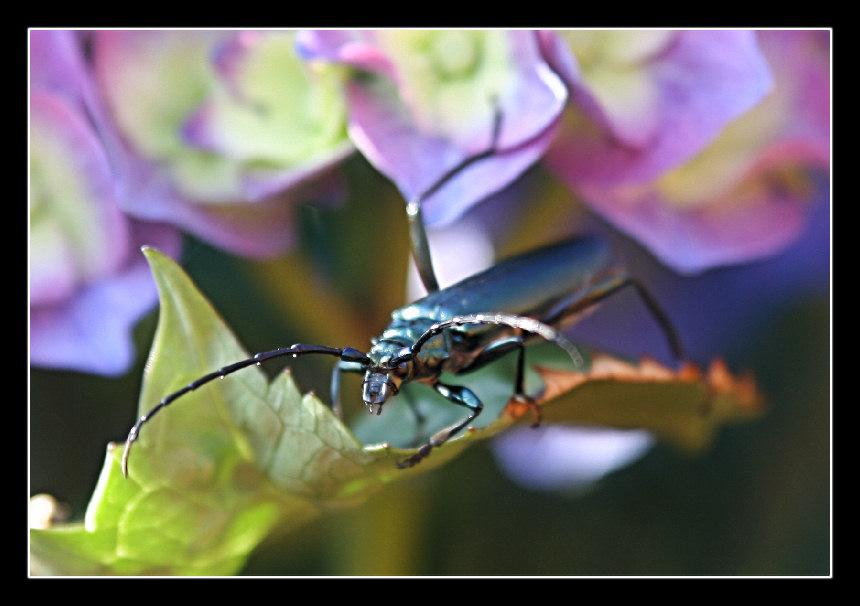 Blauer Käfer 2
