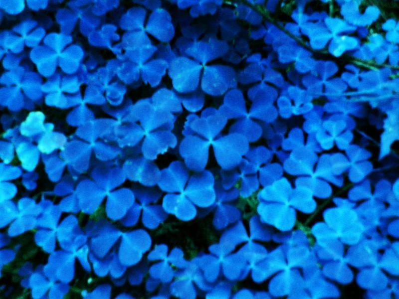 blauer Klee