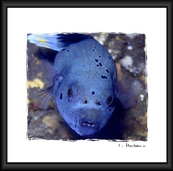 Blauer Kugelfisch - Arothron ...