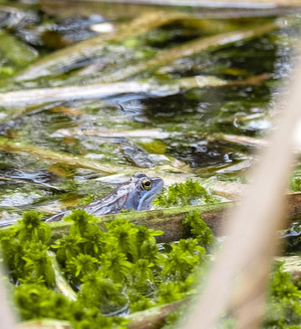 blauer Moorfrosch - Rana arvalis