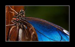 Blauer Morpho, Costa Rica