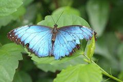Blauer Morpho (morpho peleides)