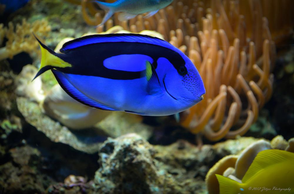 blauer Paletten Doktorfisch (Paracanthurus hepatus)