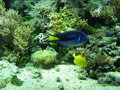 Blauer Pallettendoktorfisch 01
