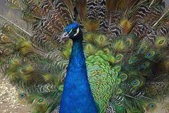 Blauer Pfau (Zoo Neuwied)