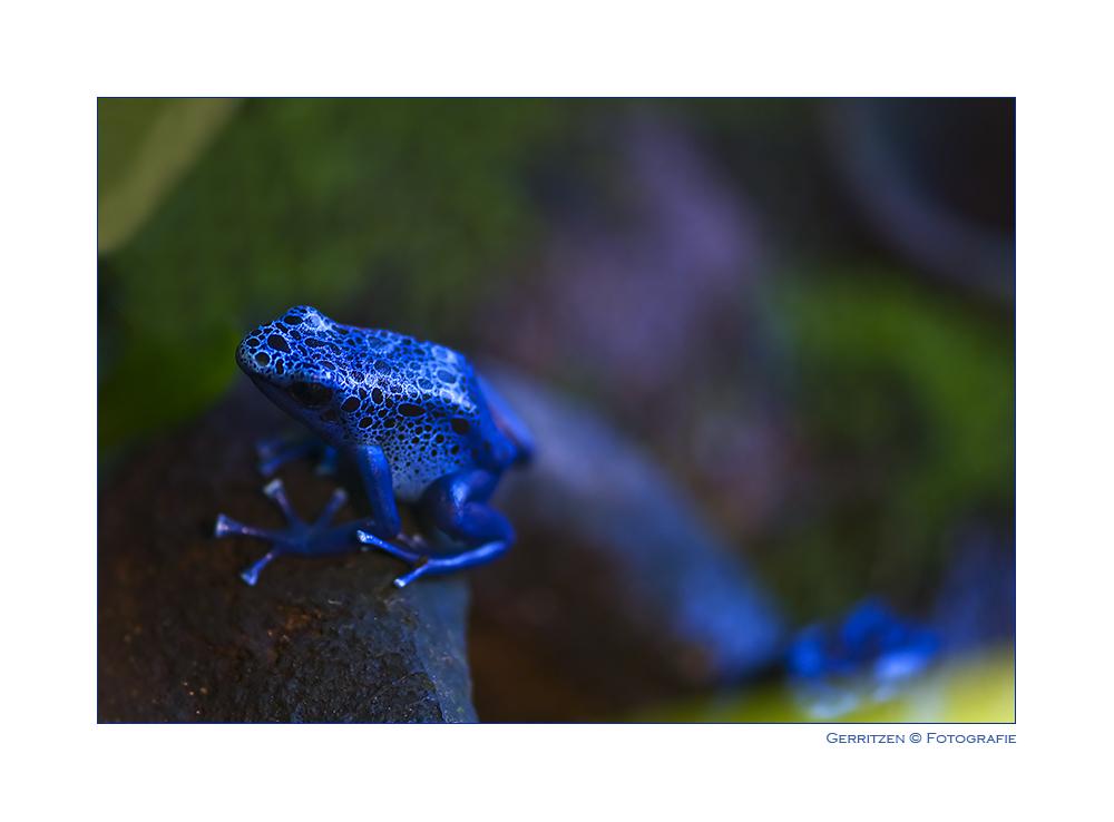 ~ Blauer Pfeilgiftfrosch ~ auf dem Sprung - aus dem Bild