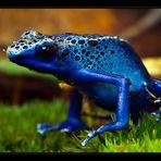 *** Blauer Pfeilgiftfrosch ***
