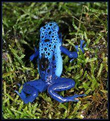 Blauer Pfeilgiftfrosch mit Kaulquappe