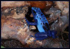 Blauer Pfeilgiftfrosch mit Nachwuchs