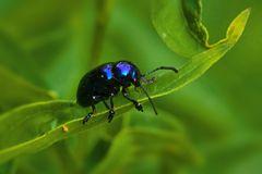 Blauer Schwalbenwurz-Blattkäfer - Eumolpus asclepiadeus