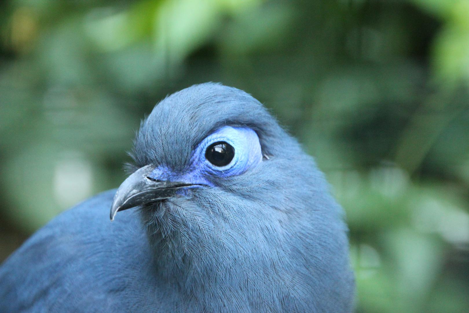 Blauer Seidenkuckuck