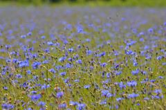 Blaues Blütenmeer mit grünem Horizont