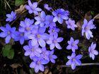 Blaues Blütenwunder