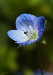 blaues Frühlingsblümchen