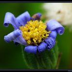 Blaues Gänseblümchen 3