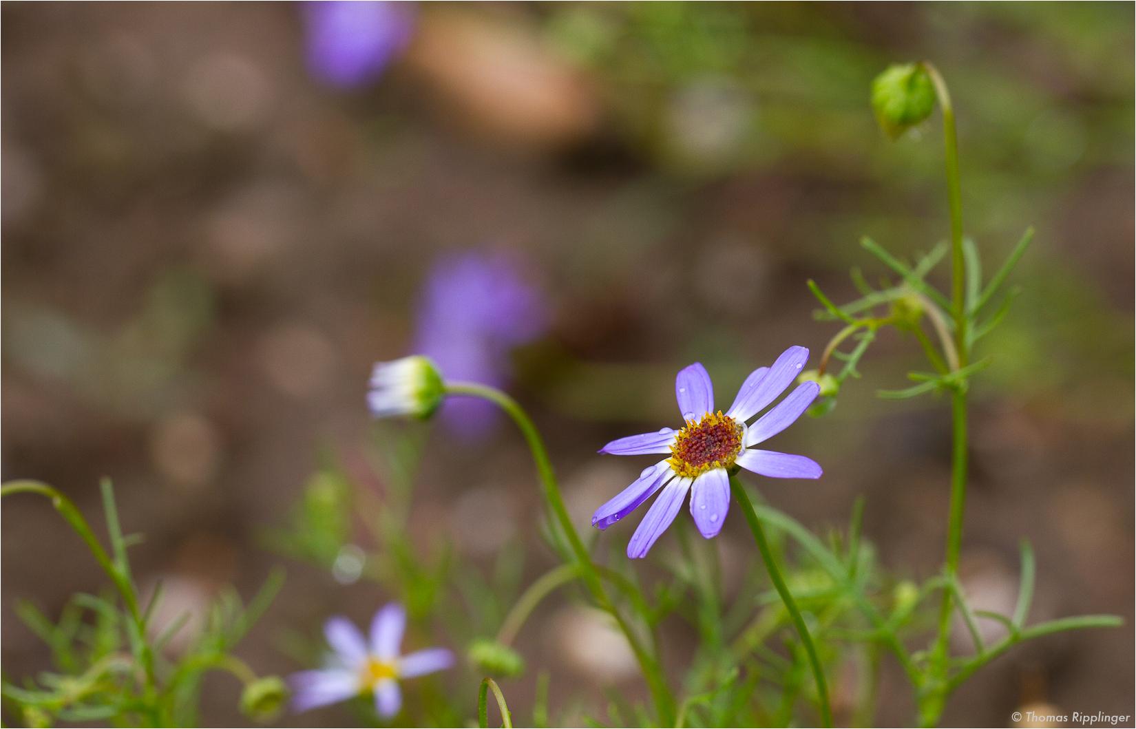 Blaues Gänseblümchen (Brachyscome iberidifolia).