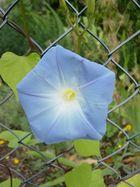 blaues-Maschendrahtzaun-Blümchen
