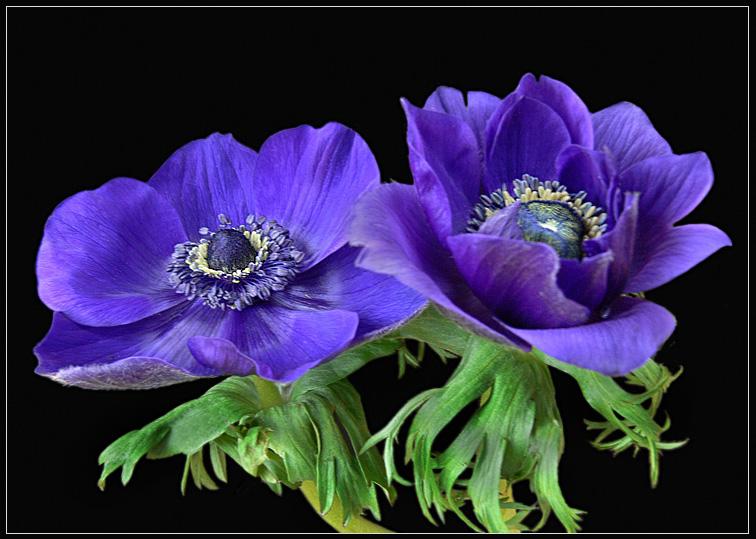 blaues Mittwochblümchen