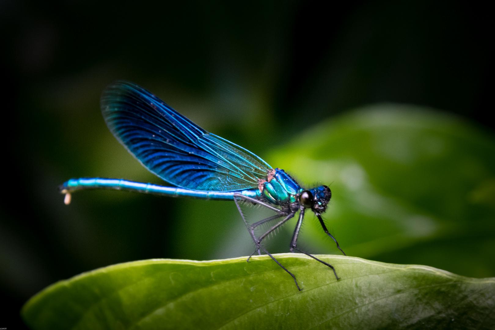 Blauflügel