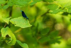 Blauflügel-Prachtlibelle (4)
