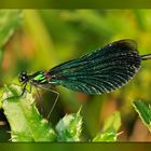 Blauflügel Prachtlibelle (Calopterix virgo)
