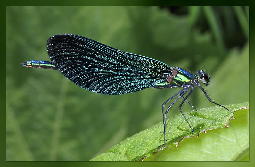 Blauflügel-Prachtlibelle (Calopterix virgo)