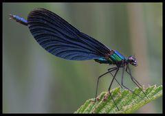 Blauflügel - Prachtlibelle (Calopteryx virgo) -
