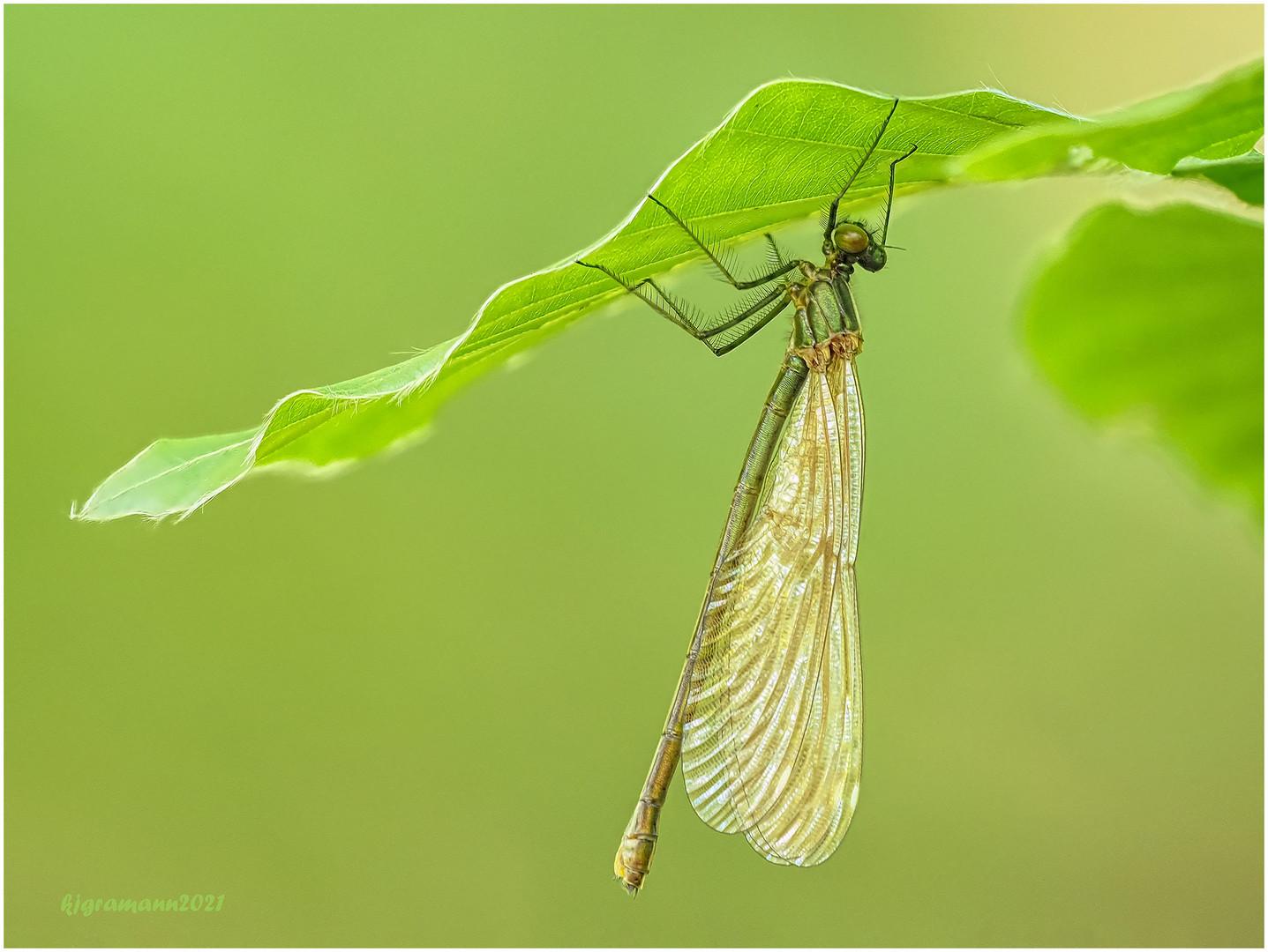 blauflügel-prachtlibelle (calopteryx virgo) w.  ....