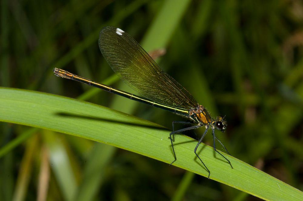 Blauflügel-Prachtlibelle (Calopteryx virgo) w.