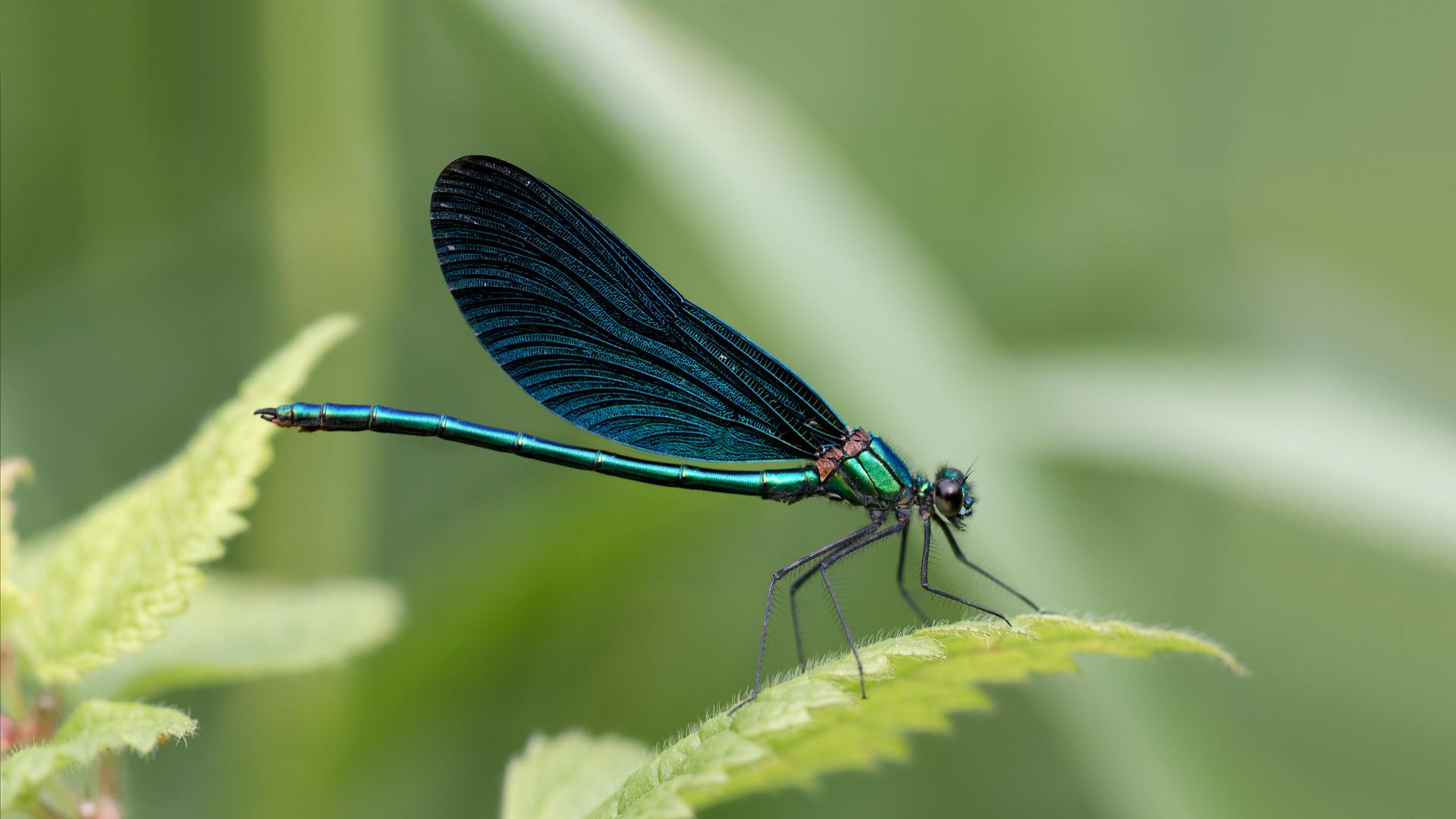 blauflügel-prachtlibelle m.
