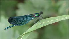 Blauflügel-Prachtlibelle (m)