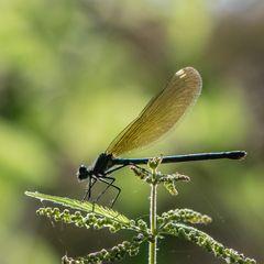 Blauflügel-Prachtlibelle, Weibchen