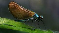 Blauflügel-Weibchen