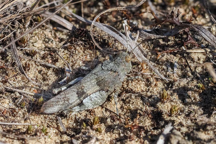 Blauflügelige Ödlandschrecke