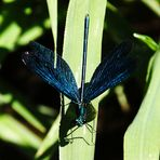 Blauflügelprachtlibelle (Männchen)