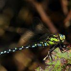 Blaugrüne-Mosaikjungfer