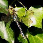 Blaugrüne Mosaikjungfer (Aeshna cyanea) - Männchen...