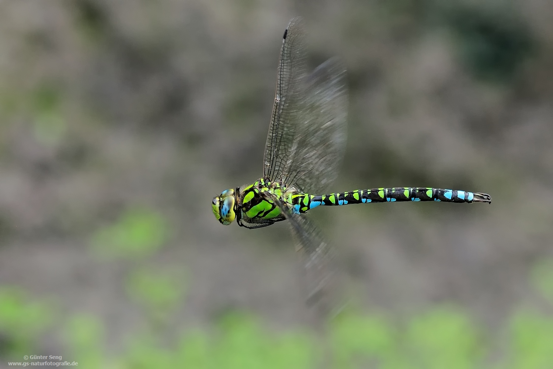 Blaugrüne Mosaikjungfer... Aeshnea cyanea