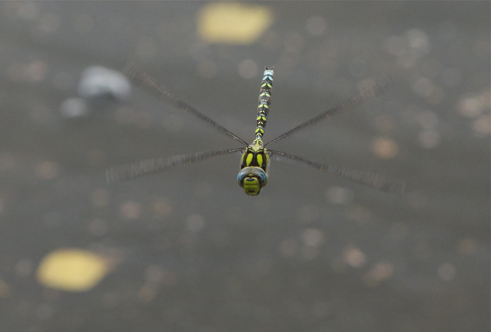 Blaugrüne Mosaikjungfer Flugstudie II