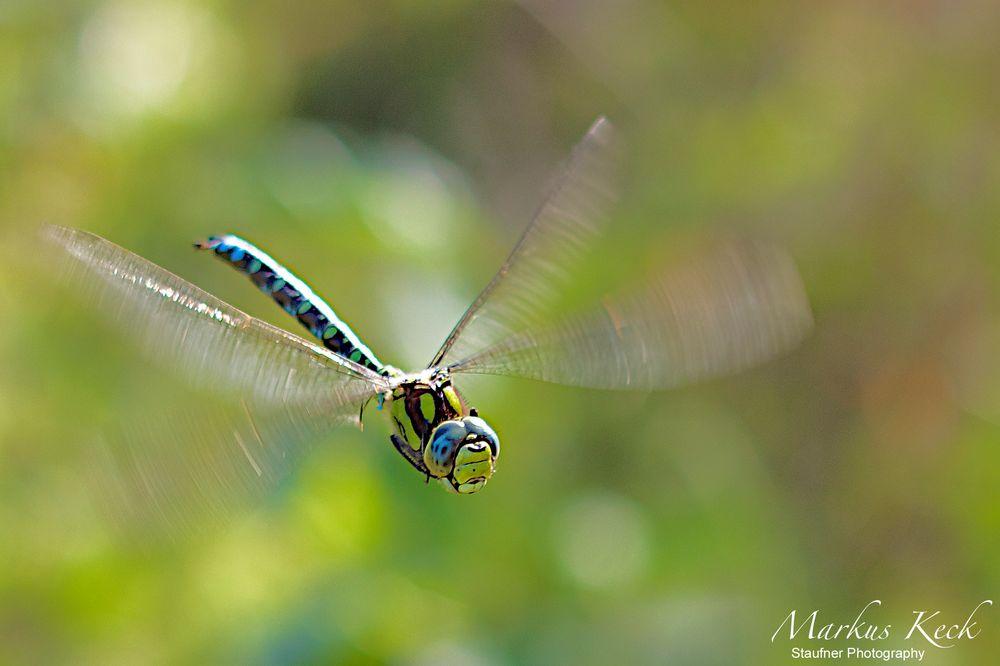 Blaugrüne Mosaikjungfer im Flug I
