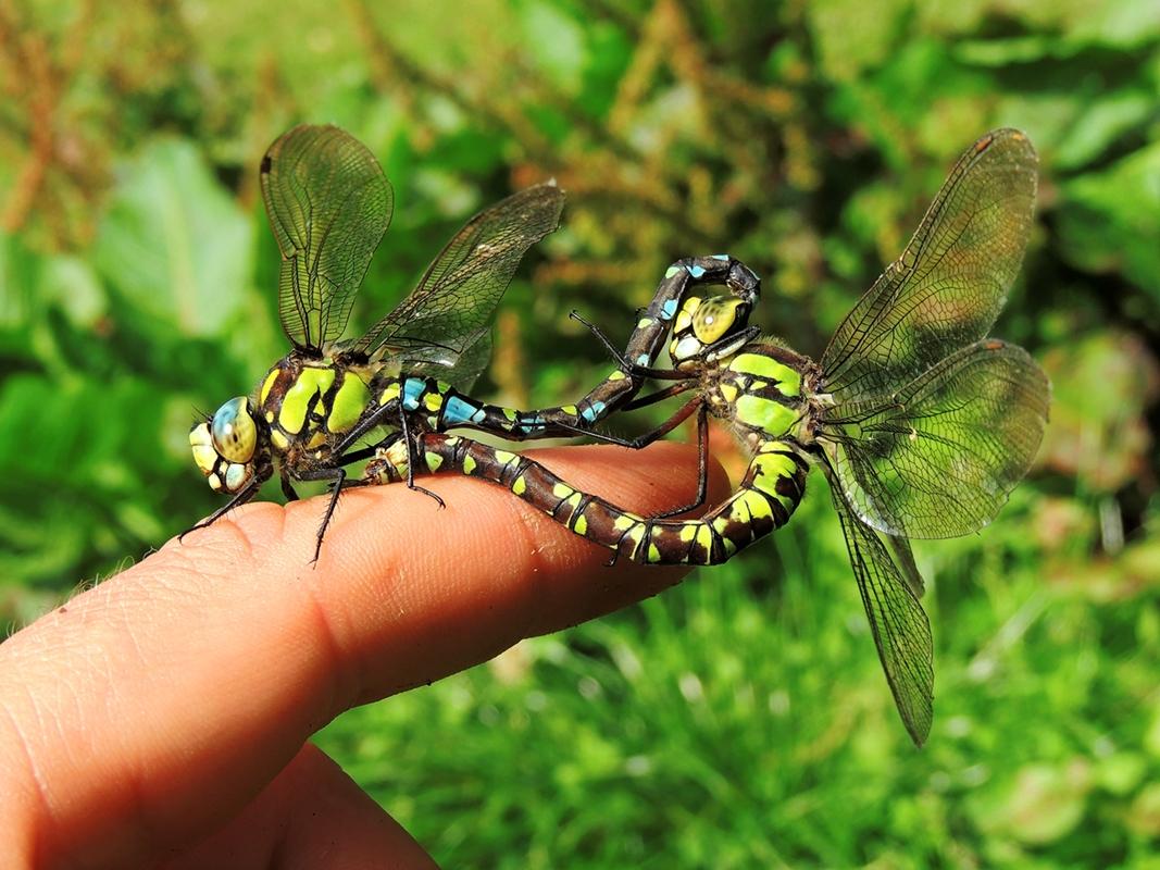Blaugrüne Mosaikjungfer im Paarungsrad auf Finger!