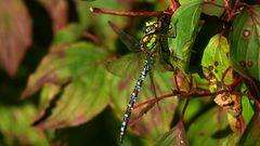 Blaugrüne Mosaikjungfer (Männchen)
