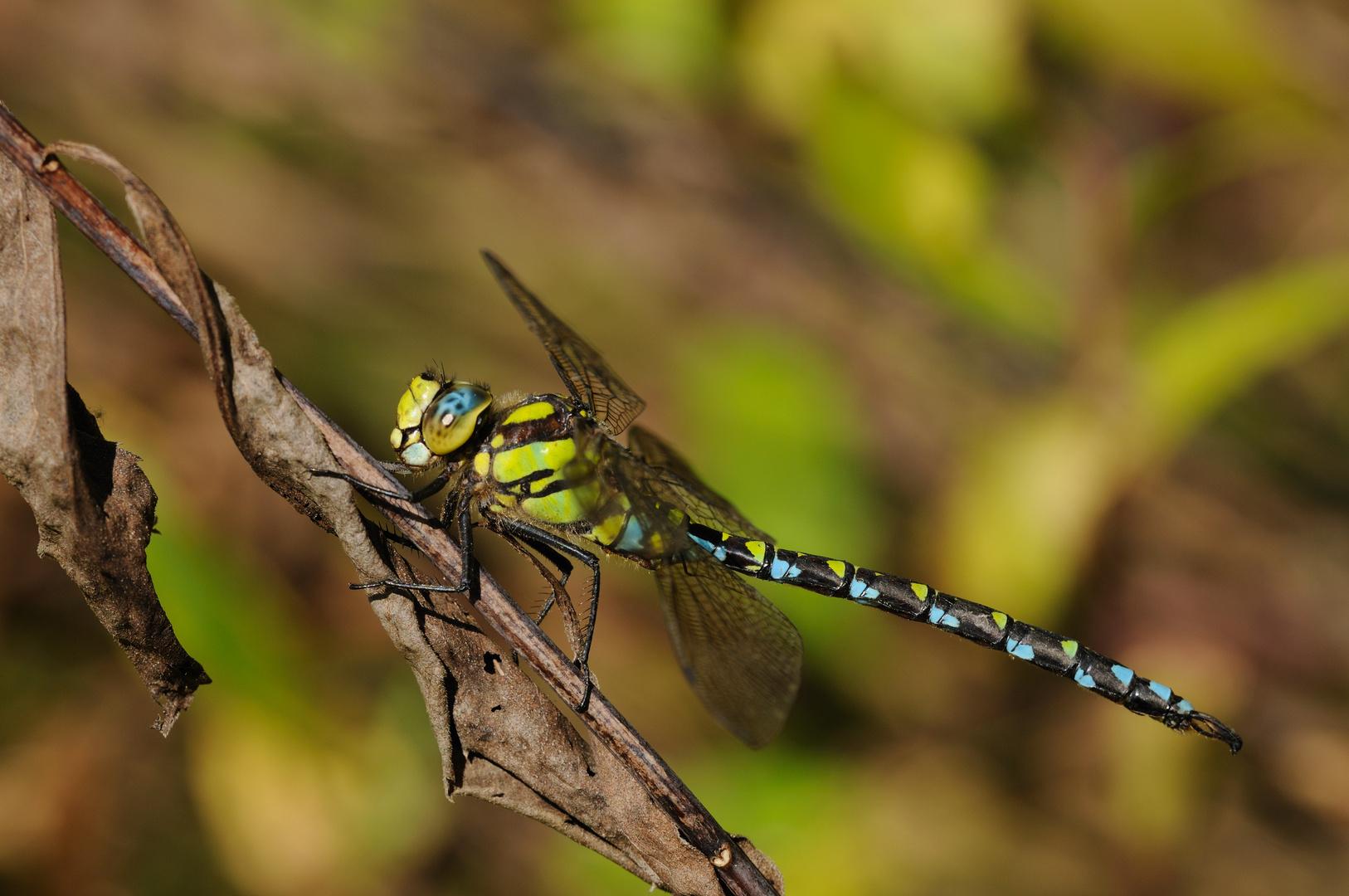 Blaugrüne-Mosaikjungfer Männchen