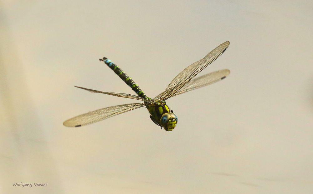 Blaugrünen Mosaikjungfer im Flug